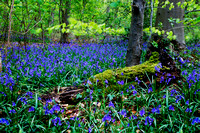 Dancing Blue Bells